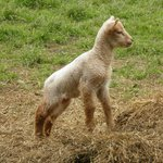 One of the many spring lambs at Cherryville House