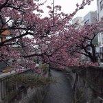 糸川に被さるように咲いています