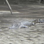 a young crocodile along the Cooper river