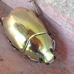Gold beatle