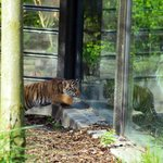 "Reflecting on ""Trouble""the 9 week old tiger cub."