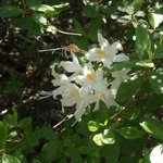 Calif native azalea