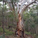 Mt Coolum tree.