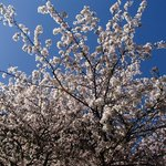 Blossoms and sky