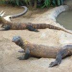Komodo Dragons waiting for feeding time.