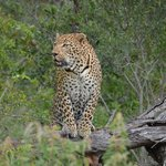 Leopard stalking another leopard