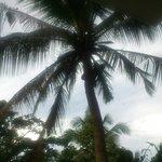 Эта пальма с кокосами создавала тенек над балконом номера