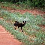 Afrikanischer Wildhund auf dem Weg zum Camp