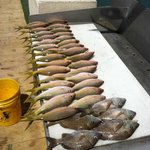 Yellow Tail Snapper and Grunts