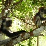 singes rouges de Jozani