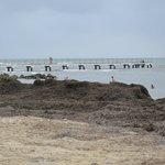 Montagna di alghe in spiaggia