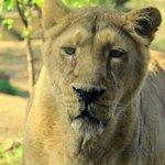 Царица зверей в Лондонском зоо by Orange_bestiya