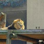Царь зверей в Лондонском зоо by Orange_bestiya