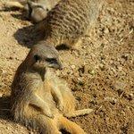 Сурикатики в Лондонском зоо by Orange_bestiya