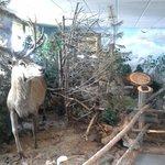 Cervo imbalsamato