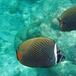 poisson de la barrière de corail