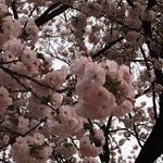 Cherry blossoms, April 13
