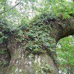 Live Oak Ferns