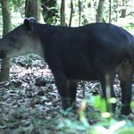 Tapir-Corcovado