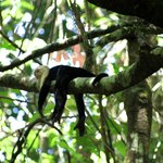 White-faced Capuchin-Corcovado