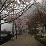 飯店外面盛開的櫻花