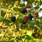Berries to pick and eat