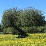 Baum auf blühender Wiese der Finca.