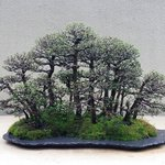One of the Pacific Rim Bonsai