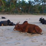 Sleepy cows on the beach of Agonda