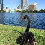 Urban Black Swan