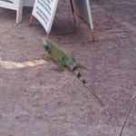 Hello little iguana :))