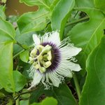 Passion fruit blooming