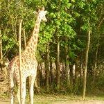 Gorgeous Giraffe