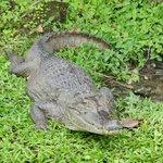 nuesteo amigo el cocodrilo