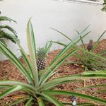 Pineapple Growing in the Gardens