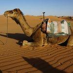 Camel for tour