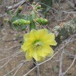 Blooming cactus flower
