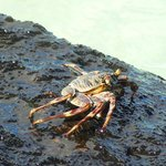 Crabs were all on the lava rocks!