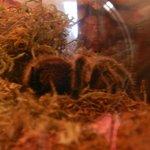 real tarantula