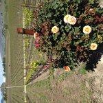 Roses and vineyard
