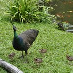 Mother peacock and her chicks