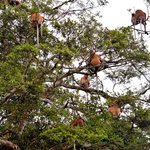 Proboscis Monkey tree over the Kinabatangan