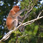 Proboscis Monkey high in the trees over the river