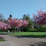 Cherry blossom in Alexandra Gardens, Cathays Park