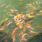 Koi feeding frenzy for 20 baht.