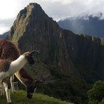 мачу пикчу и ламы