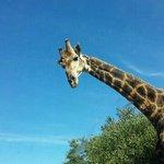 Kragga Kamma - Giraffe