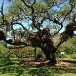 bromeliads on a tree