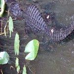 One of many alligators