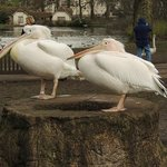 Queen's Eastern/Great White Pelican - they are really characters